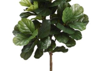 Ficus Pandurata 3'