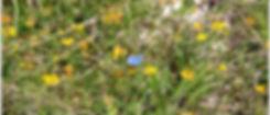 Maculinea arion (azuré du serpolet) rare specimen vu à Bournan