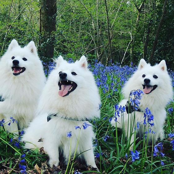 three dogs in bluebells.jpg