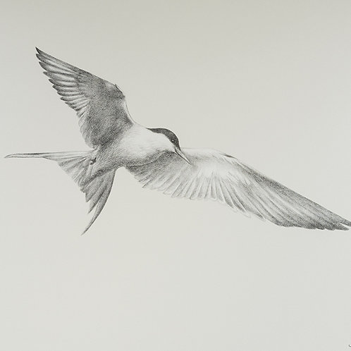Renée A Fox. Songs of Freedom (Tern 1) 2019. Graphite on Pellon.