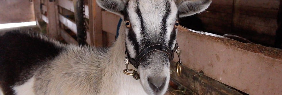 Ivan: A Pulling Goat+Cart+Harness