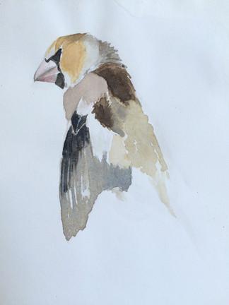 dead hawfinch sketch 2009