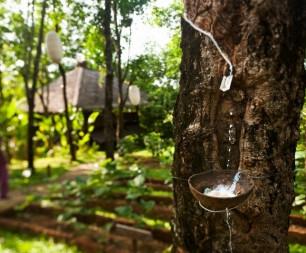 Таиланд: добыча каучука в Six Senses Yao Noi