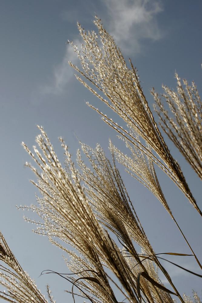 wildgrass