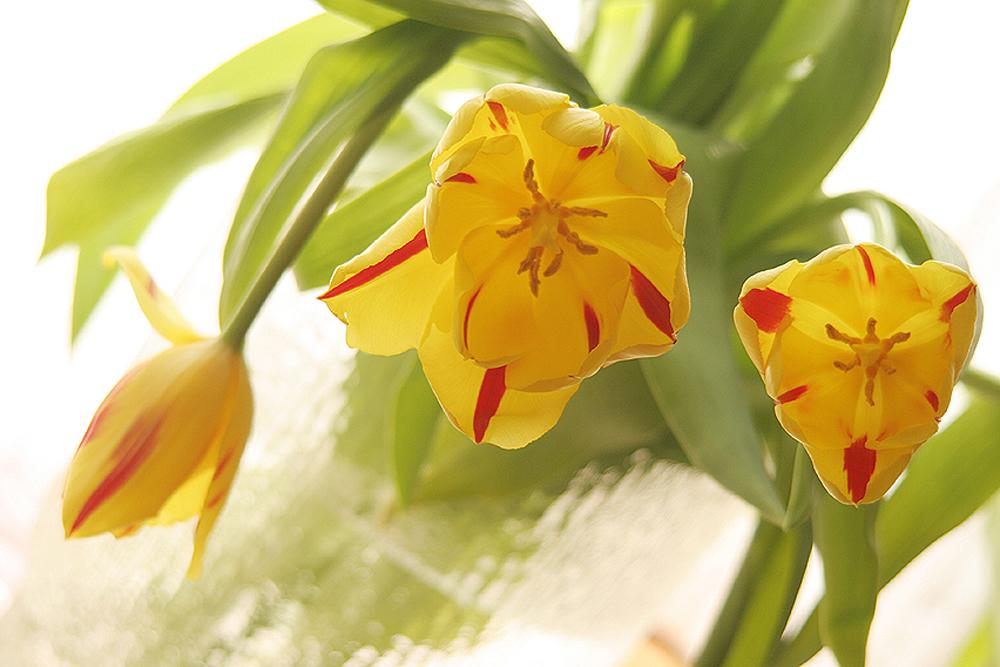 yellowtulipsone