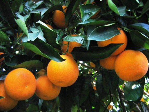 The Citrus District of Sicily: «Ismea hopes for a control room? We are there »