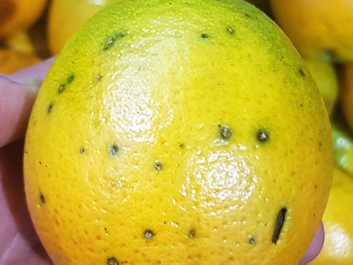 """Black spot"" infested Argentinian lemons rejected at Catania harbour"