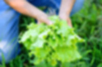 freshly-salad-in-the-hands-of-the-farmer