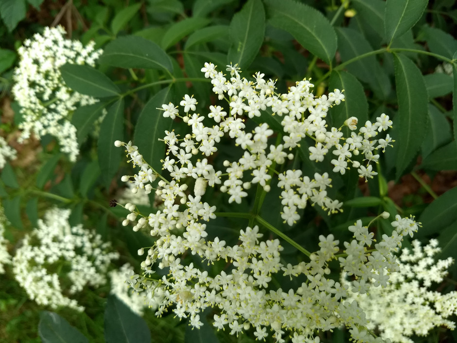 Wild Edibles this Week: Elderberry