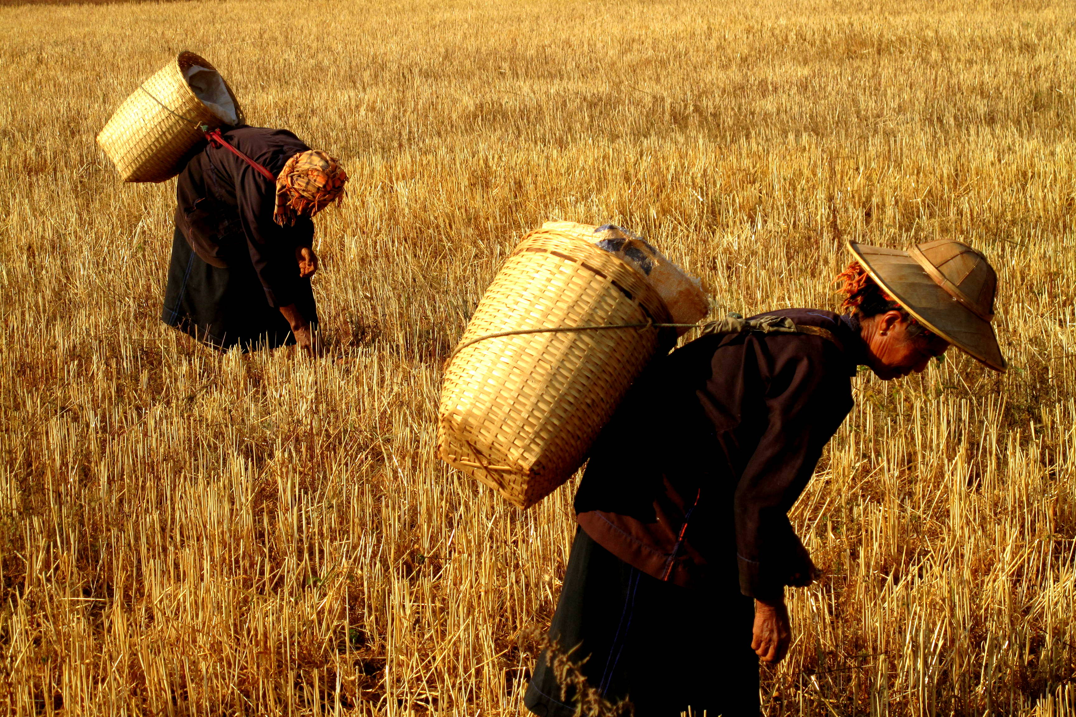 Working the Wheatfields, Burma
