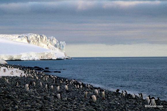 Gentoo Colony, Antarctica