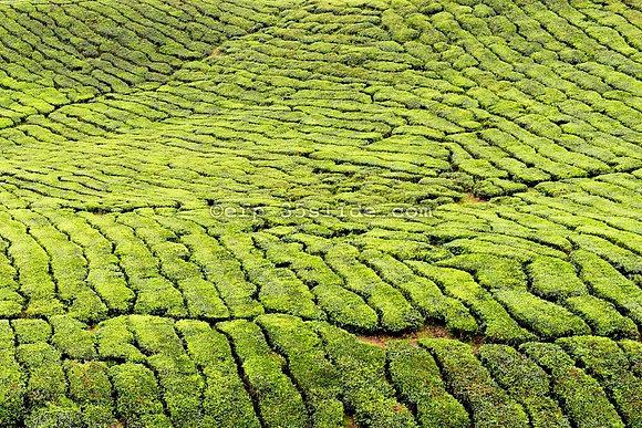 Tea, Malaysia
