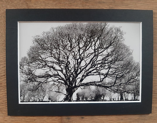 Roadside Oak, Ireland 5x7 matted size, black mat
