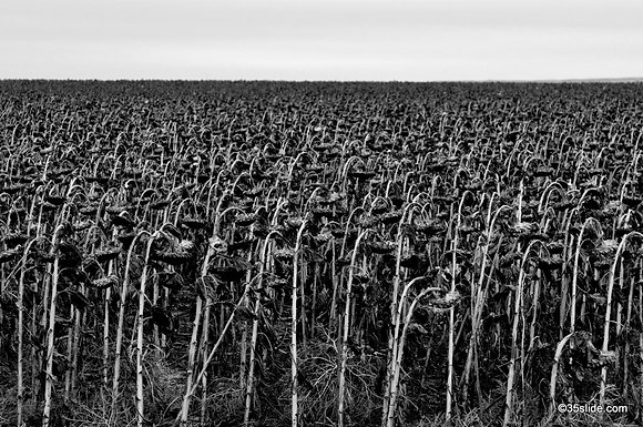 Dead Sunflower Field, SD USA