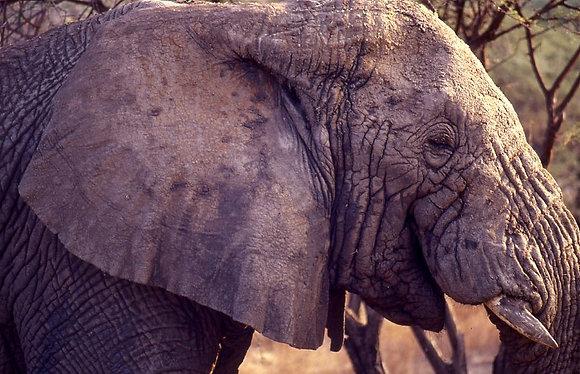 Smiling Elephant, Tanzania