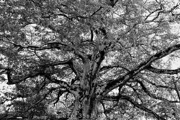 Sacred Tree, El Salvador