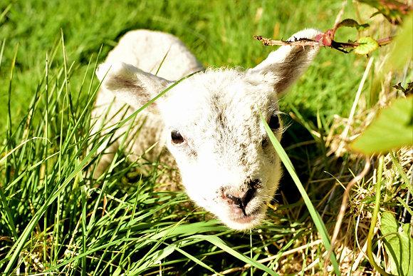 Little Lamb, Ireland