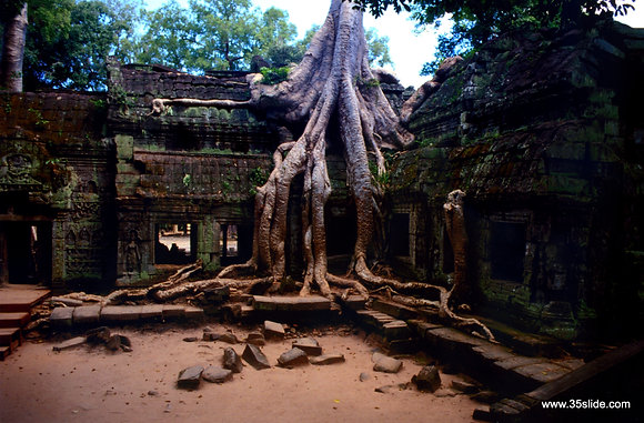 Tree Reclaiming Ta Prohm Temple, Cambodia