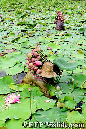 The Lotus Farmers, Thailand