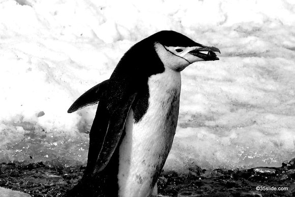 Chinstrap with Love Pebble, Antarctica