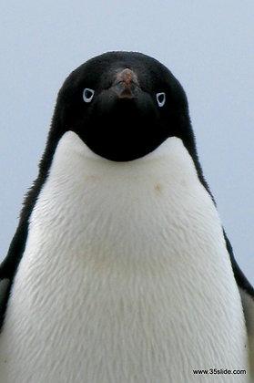The Staredown, Antarctica