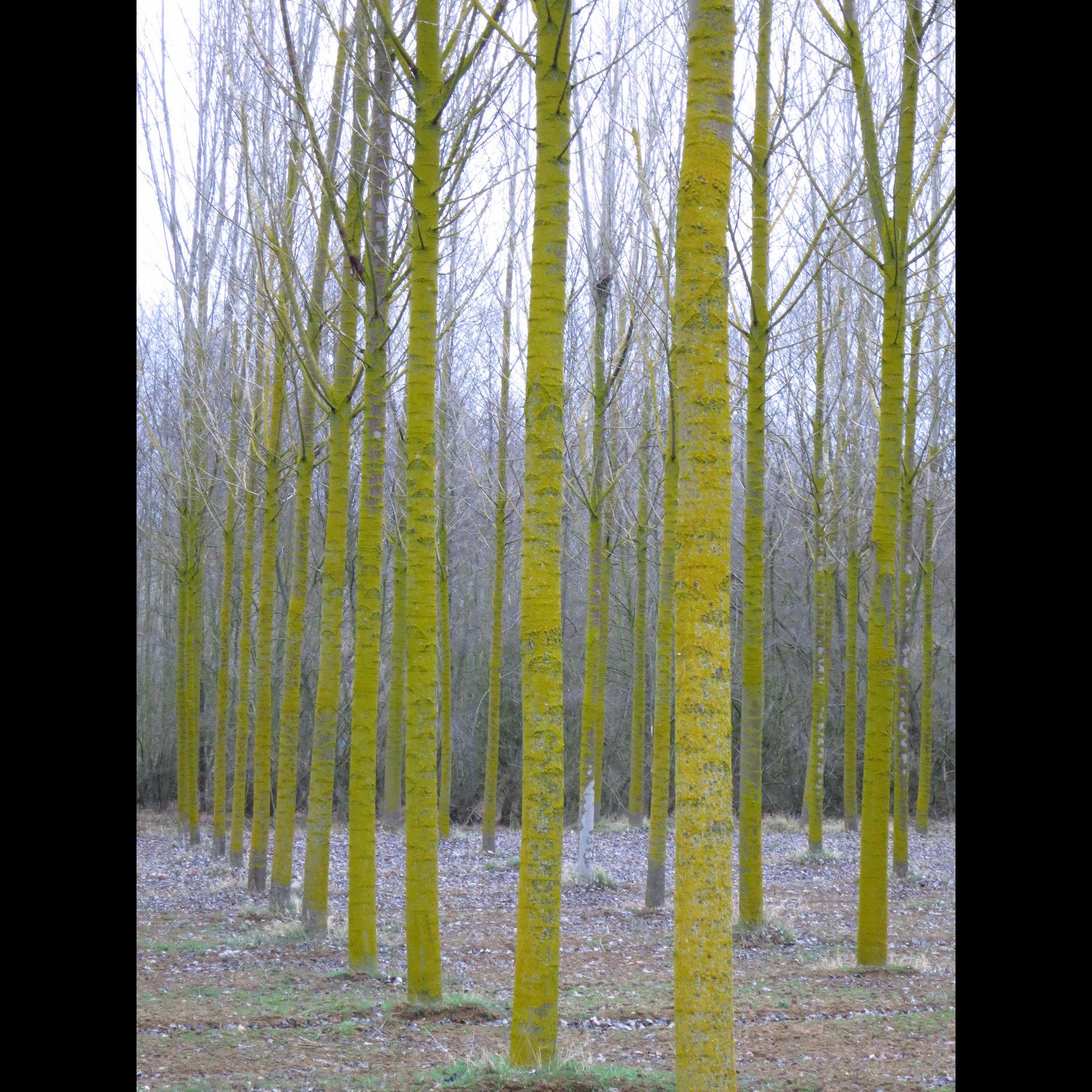 Grove of Trees #2, Spain