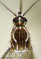 Aedes aegypti torax 40 X.jpg