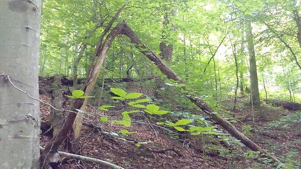 6-21-19 camping trip - tree bent.jpg