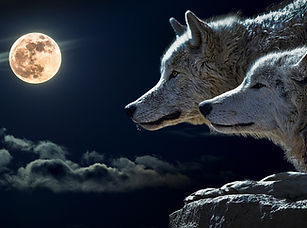 Animal totem readings - photo of wolves and moon