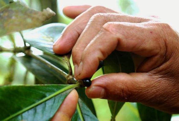 Arbusto de donde se obtiene el fruto.