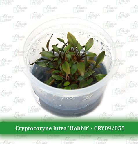 "Cryptocoryne lutea ""Hobbit"""