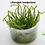 Thumbnail: Lilaeopsis macloviana