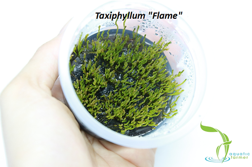 Taxiphyllum sp. 'Flame'