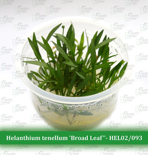 Helanthium tenellum 'Broad Leaf''