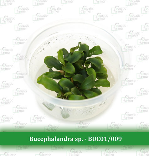 Bucephalandra sp.