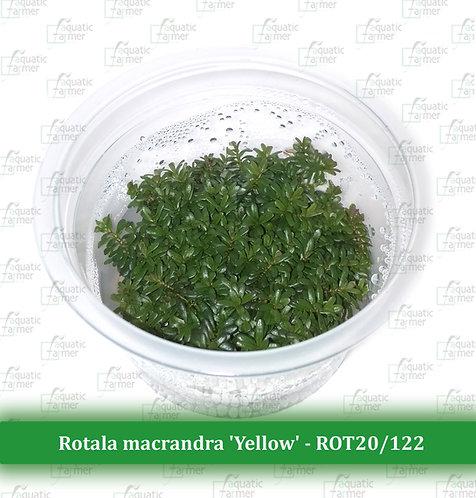 Rotala macrandra 'Yellow'