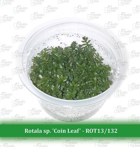 Rotala sp. 'Coin Leaf'