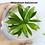 Thumbnail: Helanthium bolivianum