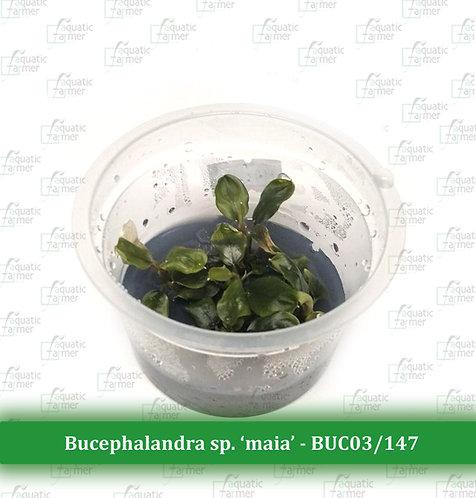 Bucephalandra sp 'maia'
