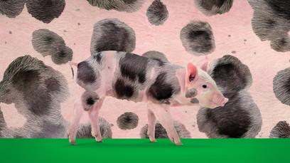 KRKA Pig
