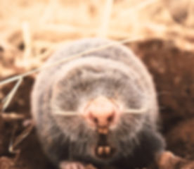 The%20mole%20is%20a%20blind%20animal%20that%20is%20never%20seen%20but%20can%20hear%20very%20much%20a