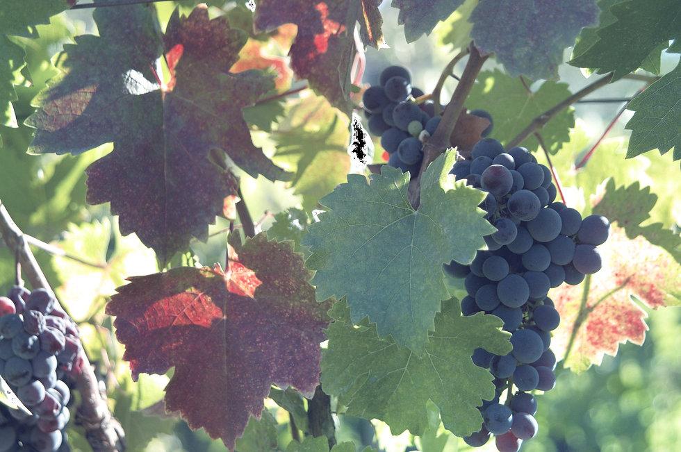 Vine Leaves_edited.jpg