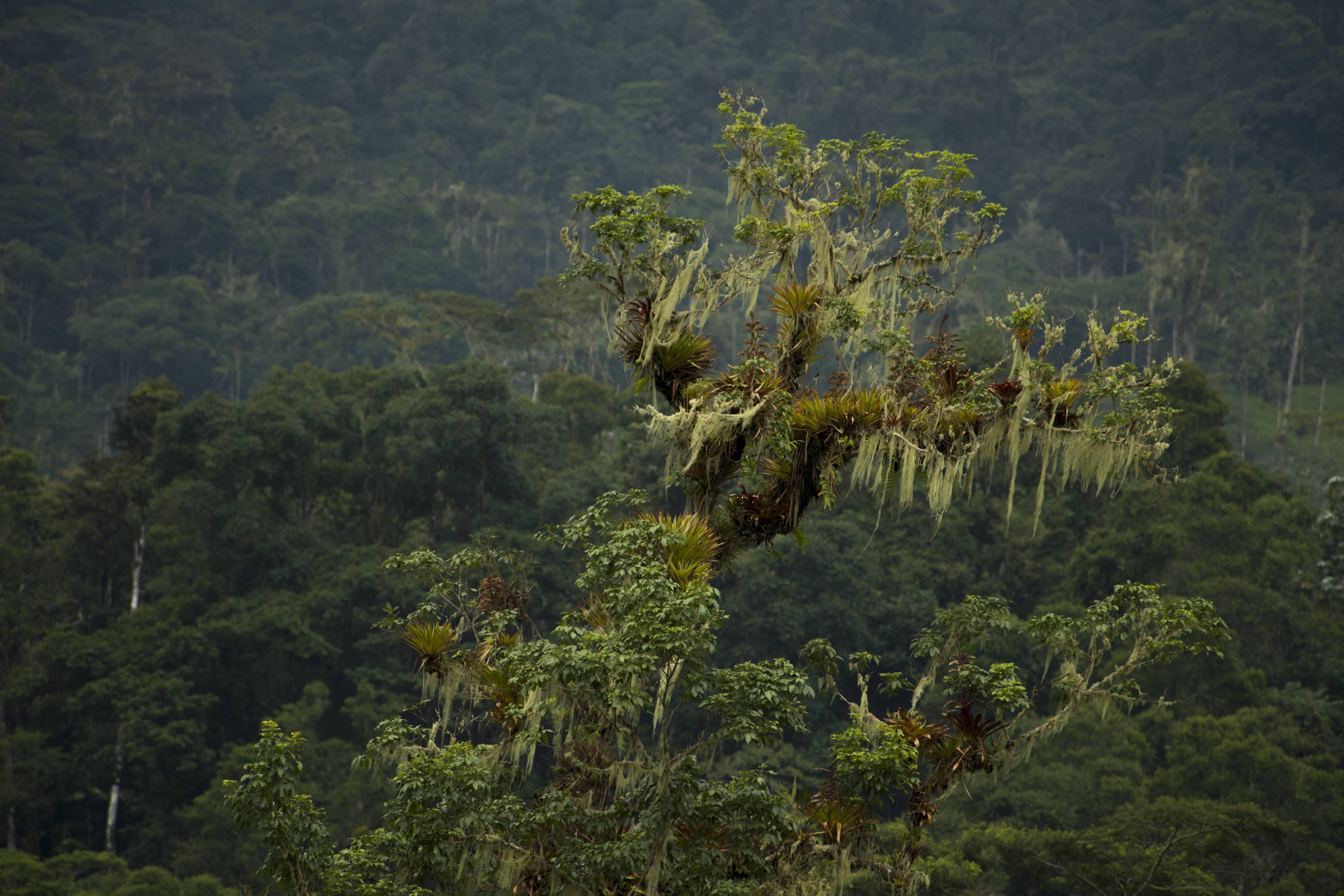 Este árbol del bosque piemontano captura la humedad que es aprovechada por decenas de especies.