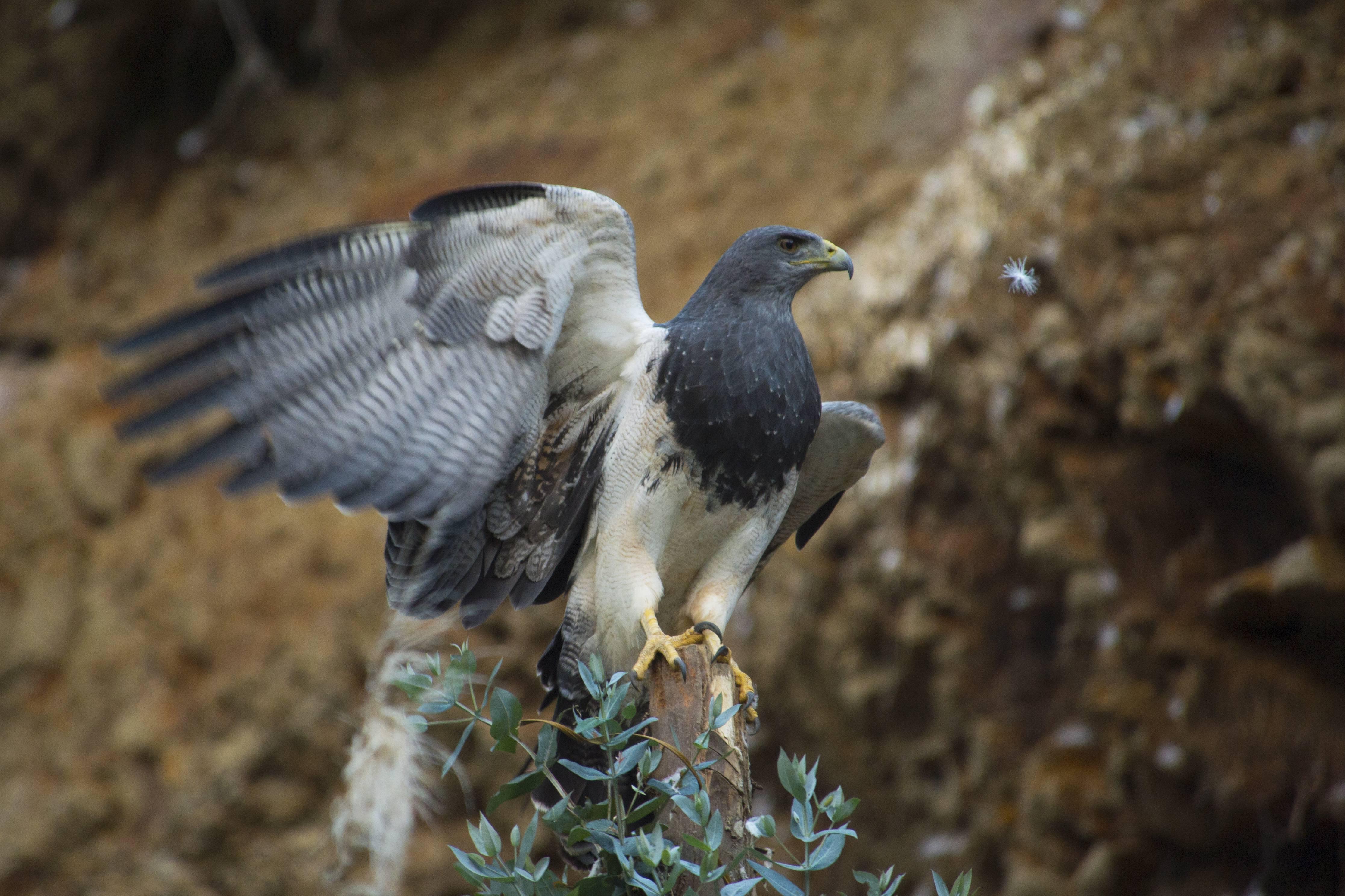 Una de las grandes predadoras del CCSP, el águila pechinegra (Geranoaetus melanoleucus).
