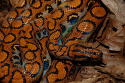 Su piel iridiscente le otorga su nombre a la boa arcoiris (Epicrates cenchria).