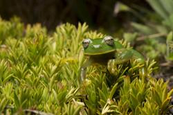 Esta rana de cristal altoandina de Buckley (Centrolene buckleyi) es una especie en peligro crítico.