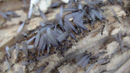 羽アリ大量発生
