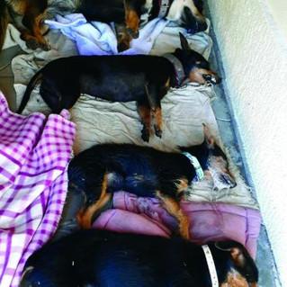 Quatro cachorros de uma mesma família são envenenados no Caí