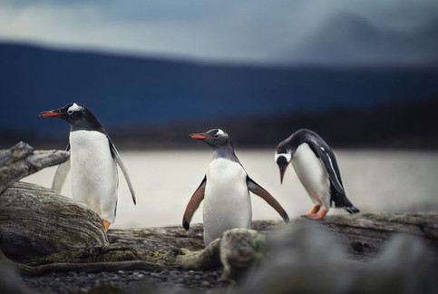 pinguin.jpg