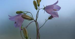 Pollinator preference for rarity may drive establishment